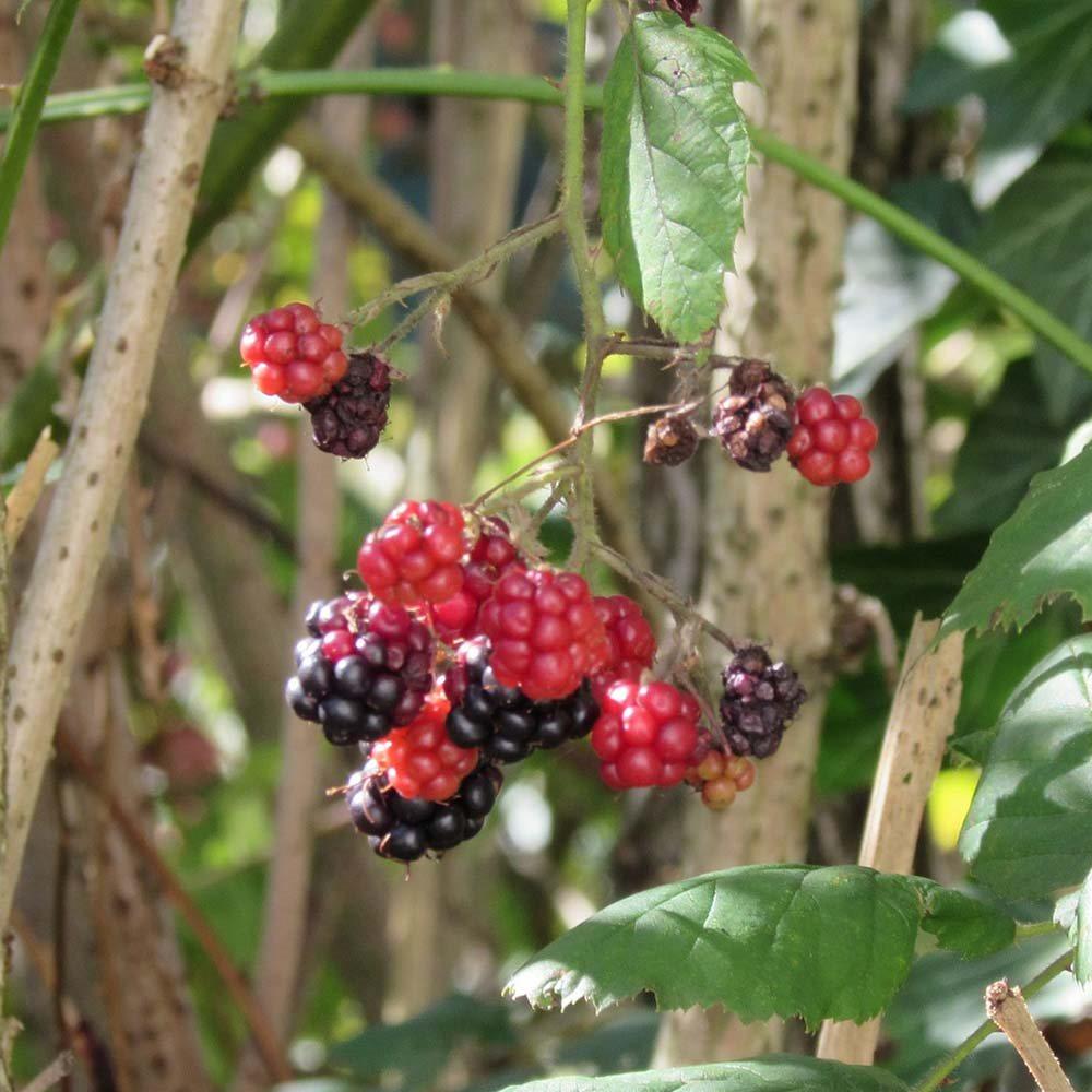 Comment planter des arbustes à fruits - Forges et Jardins